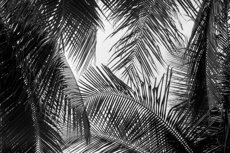 Hoja de palmas blanca y negra abstracta de coco fotografía de archivo