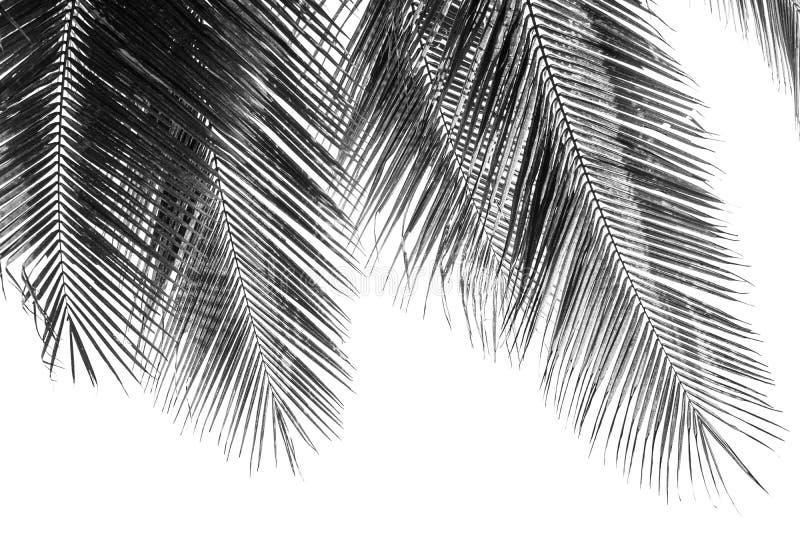 Hoja de palmas blanca y negra de coco fotos de archivo libres de regalías