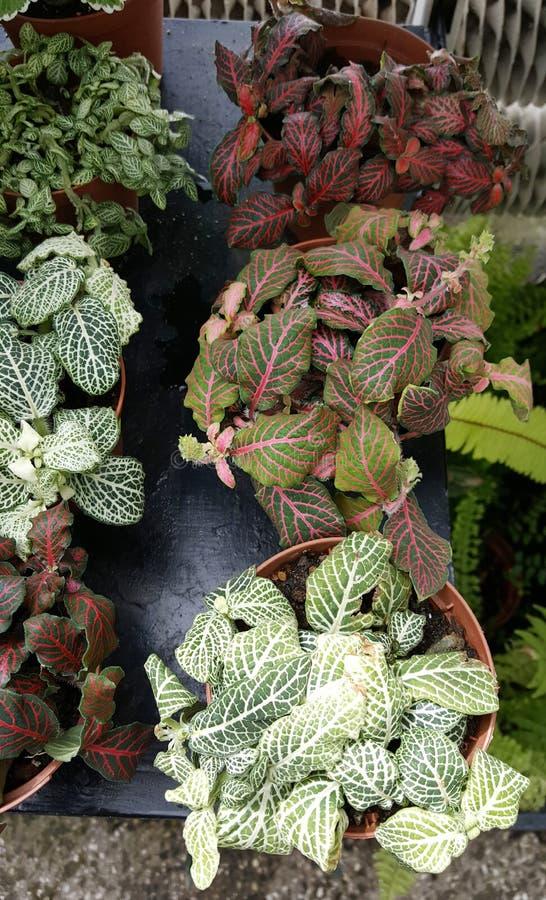 Hoja de Ponpy, plantas verdes de la begonia fotos de archivo libres de regalías
