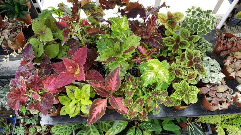 Hoja de Ponpy, plantas verdes de la begonia imágenes de archivo libres de regalías