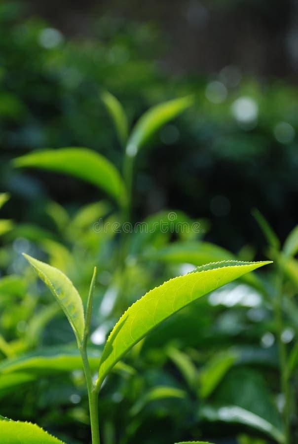 Hoja de té fotografía de archivo libre de regalías