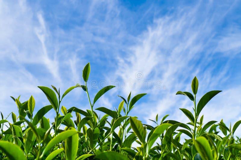 Hoja de té como cielo azul imagen de archivo