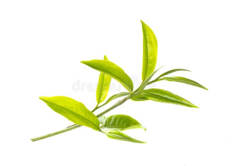Hoja de té verde imagen de archivo libre de regalías