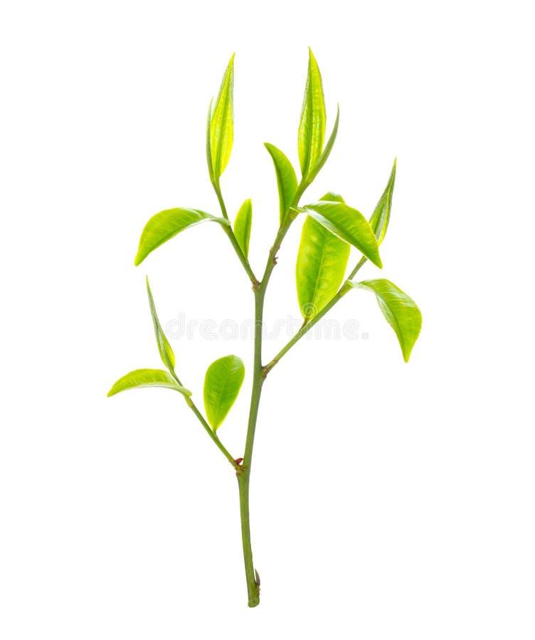 Hoja de té verde fotos de archivo libres de regalías