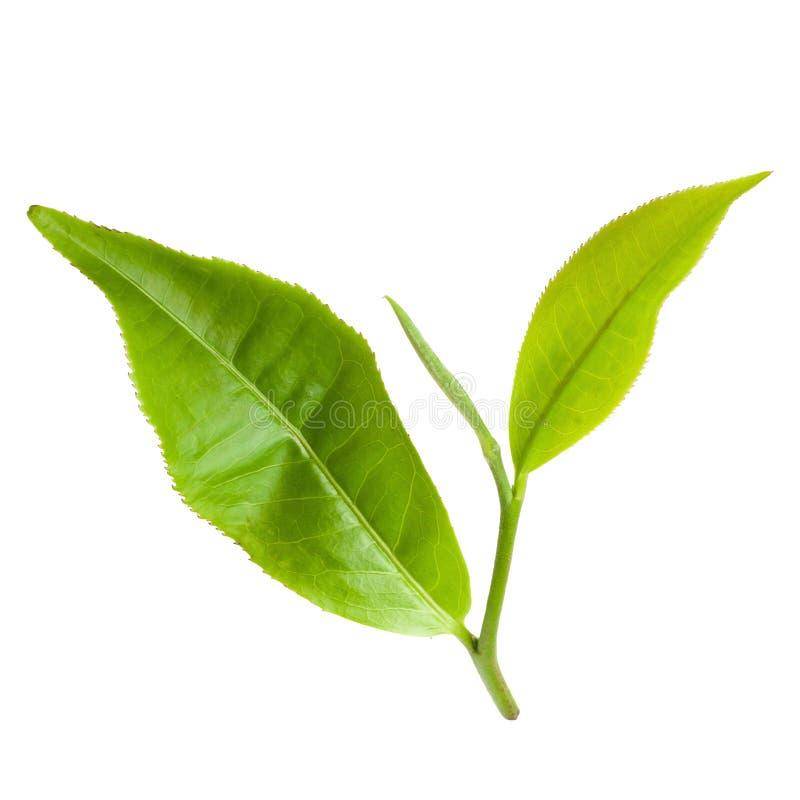 Hoja de té verde aislada en el fondo blanco imagenes de archivo