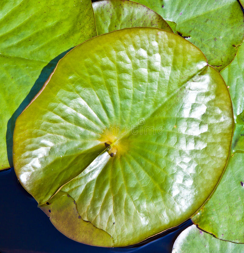 Hoja de un lirio de agua del loto blanco fotografía de archivo libre de regalías
