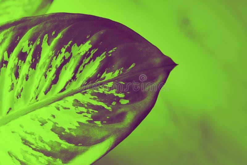 hoja de una planta exótica en duotone, para los fondos modernos y de moda muy coloridos imágenes de archivo libres de regalías