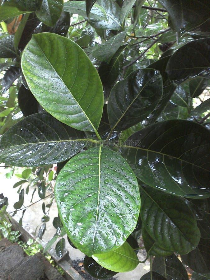 Hoja de Wite del árbol de jackfruit imagenes de archivo