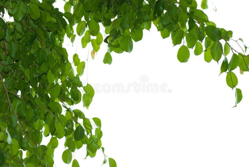 Hoja del árbol de Banyan fotos de archivo libres de regalías