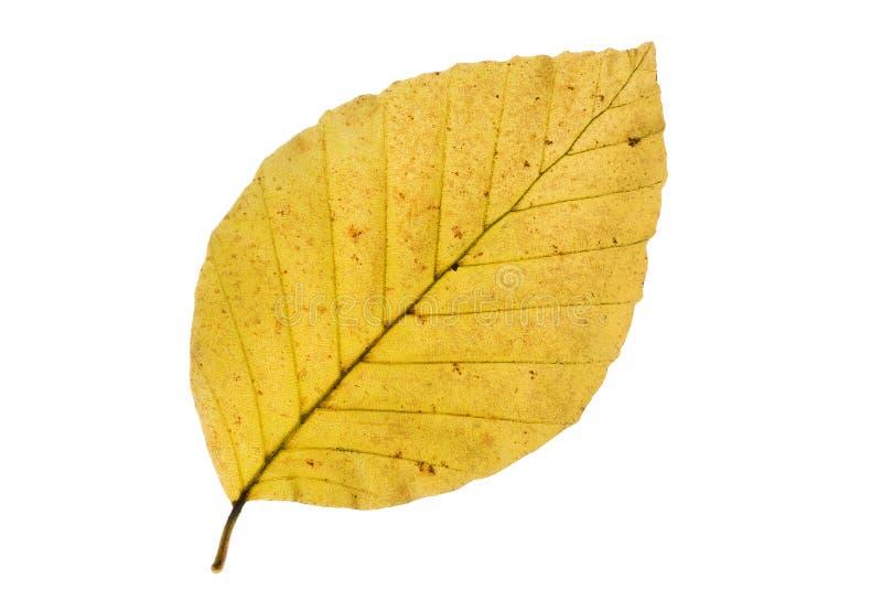 Hoja del árbol de haya en otoño foto de archivo