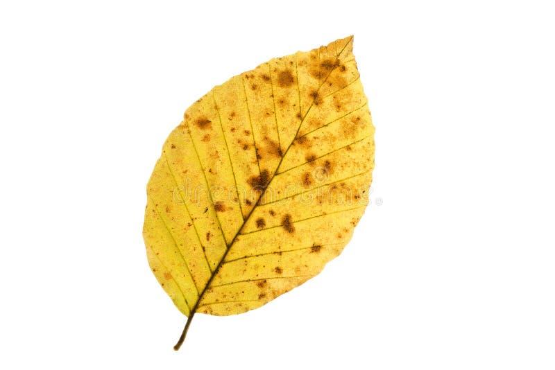 Hoja del árbol de haya en otoño fotos de archivo