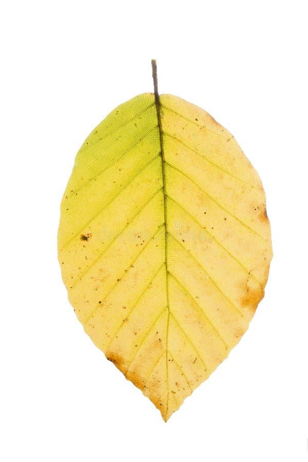 Hoja del árbol de haya en otoño foto de archivo libre de regalías