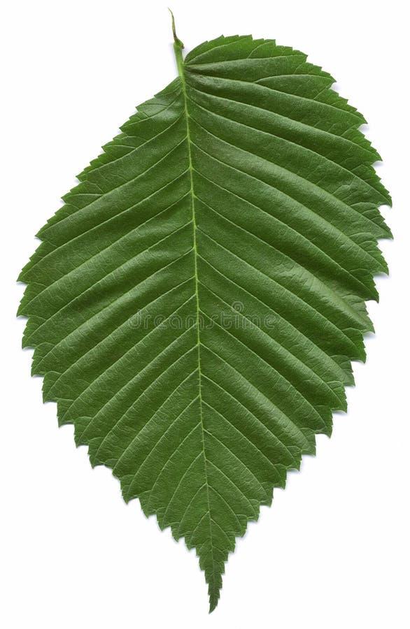 Hoja del árbol de olmo americano imagen de archivo libre de regalías