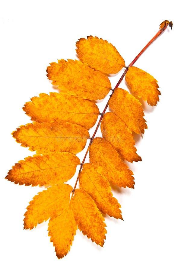 Hoja del árbol de serbal del otoño aislada en el fondo blanco Con clippi fotos de archivo