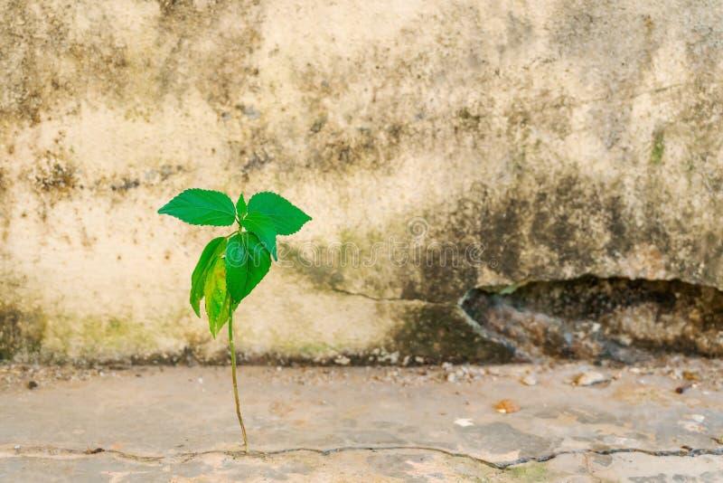 Hoja del árbol que crece en el hormigón de la grieta del cemento foto de archivo