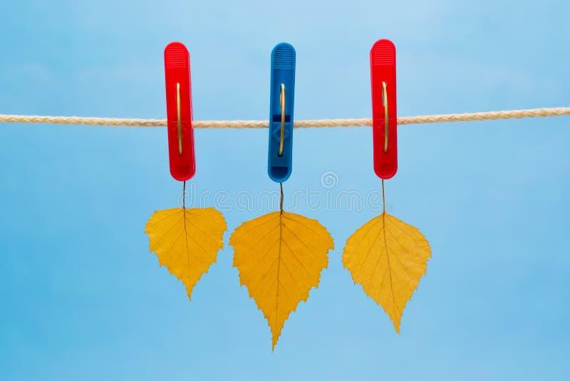 Hoja del abedul amarillo tres suspendida de una cuerda para tender la ropa usando pinzas fotos de archivo