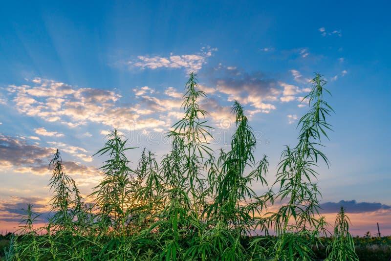 Hoja del cáñamo, marijuana médica Flores y semillas del cáñamo en campo verde con la luz trasera Hojas de la planta de marijuana  imágenes de archivo libres de regalías