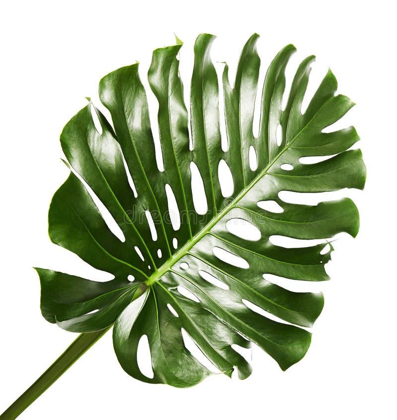 Hoja del deliciosa de Monstera o planta del queso suizo, follaje tropical aislado en el fondo blanco imagen de archivo