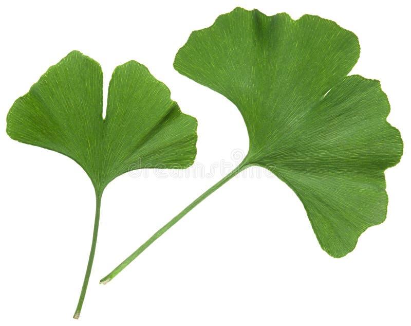 Hoja del Ginkgo aislada Hojas del verde de la planta del árbol del Gingko aisladas en el fondo blanco fotos de archivo