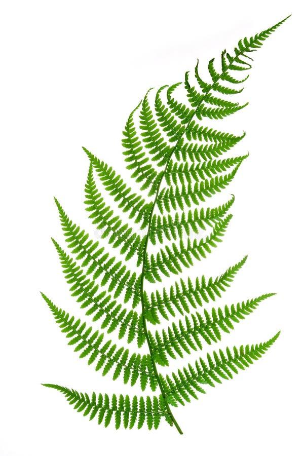 Hoja del helecho imagen de archivo. Imagen de botánica - 14889101