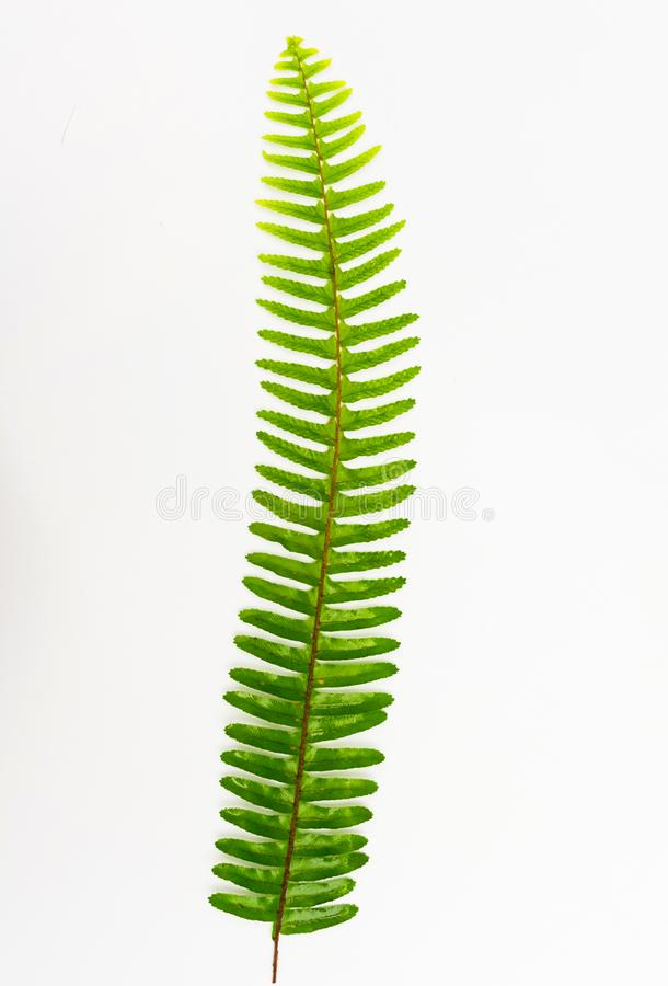 Hoja del helecho, follaje ornamental, helecho aislado en el fondo blanco, con la trayectoria de recortes imagen de archivo