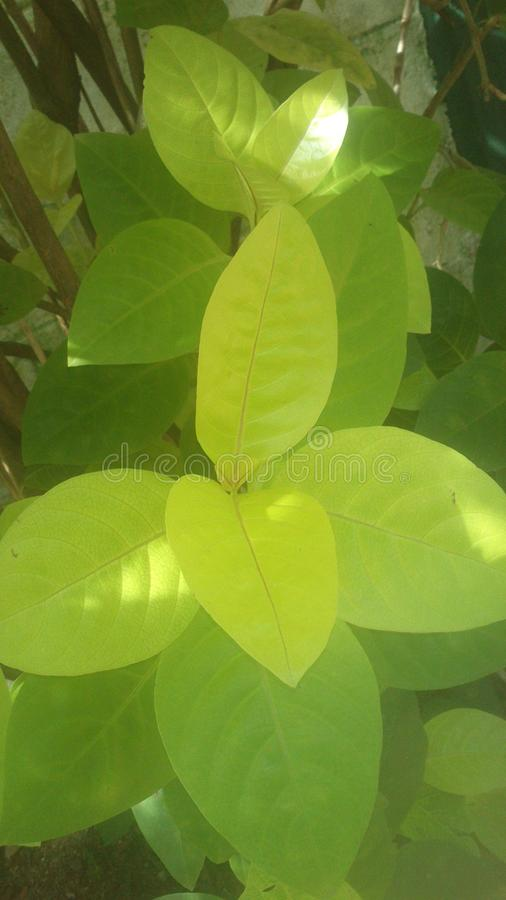 Hoja del jardín de Beautifu en Sri Lanka imagenes de archivo