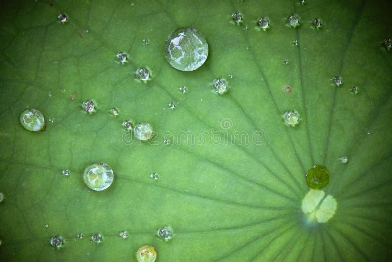 Hoja del loto con gota del agua imagenes de archivo