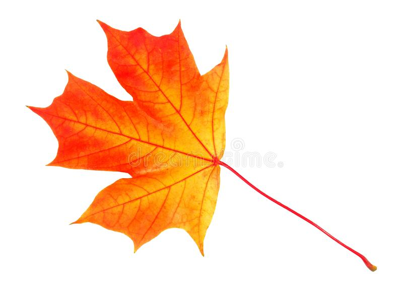 Hoja del otoño en blanco foto de archivo