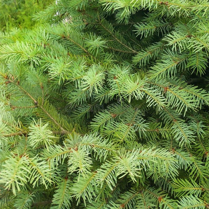 Hoja del pino - ascendente cercano imagenes de archivo