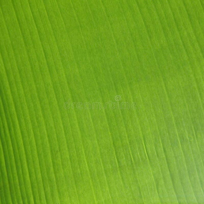 Download Hoja del plátano imagen de archivo. Imagen de belleza - 41905019