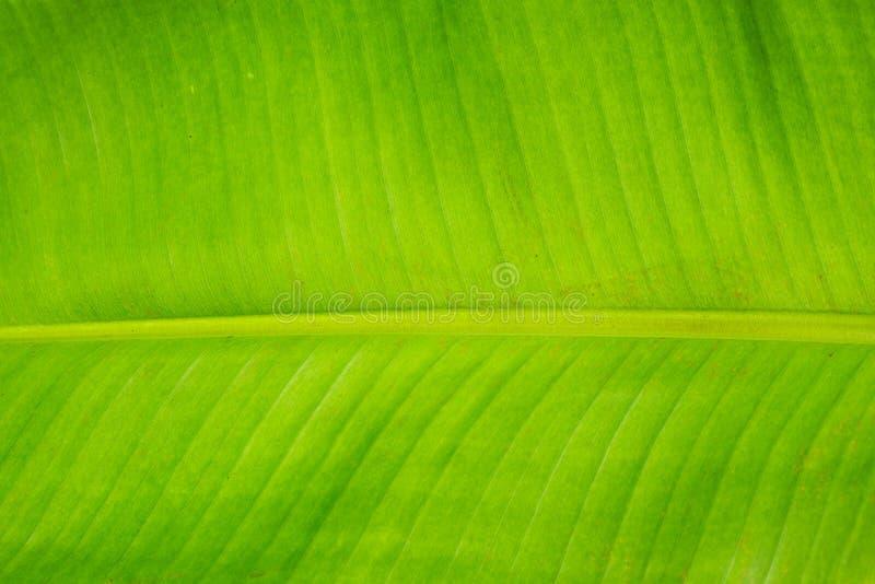 Download Hoja del plátano foto de archivo. Imagen de outdoors - 42437104