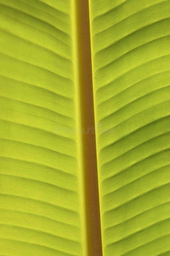 Hoja del plátano imagenes de archivo