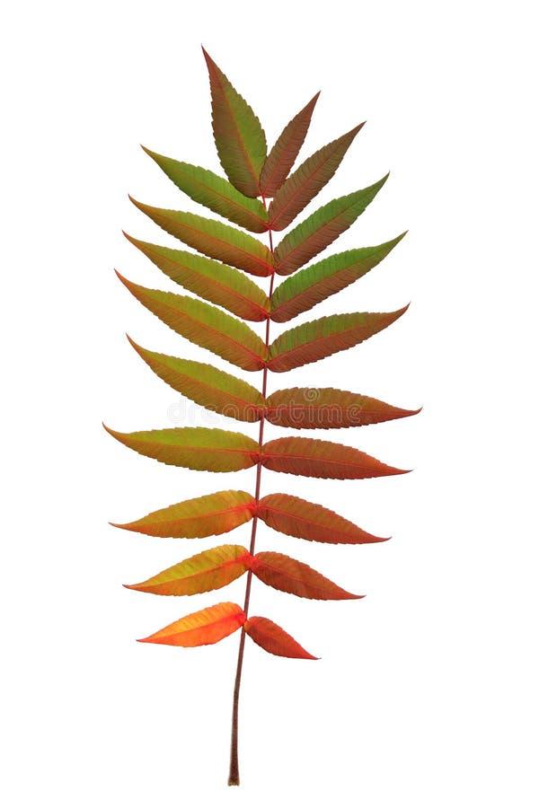 Hoja del serbal en otoño imagen de archivo