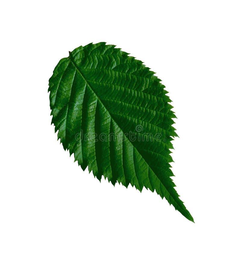 Hoja del verde de la frambuesa aislada en blanco foto de archivo