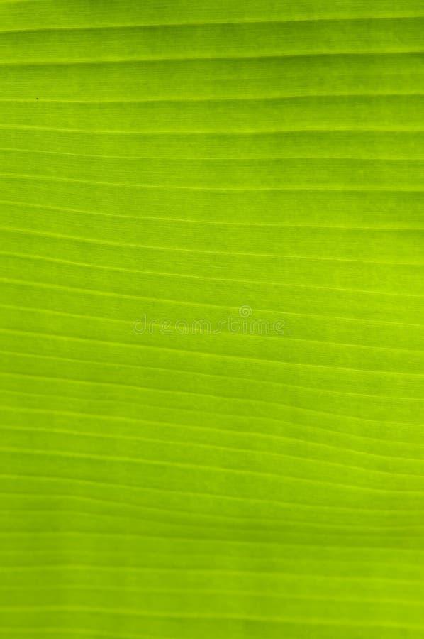 Hoja del verde de la palmera del plátano imágenes de archivo libres de regalías