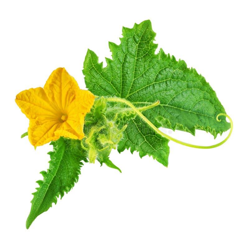 Hoja del verde del pepino y flor amarilla aisladas foto de archivo