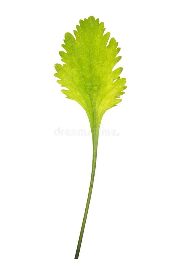 Hoja del vulgare del Leucanthemum aislada en blanco imagen de archivo