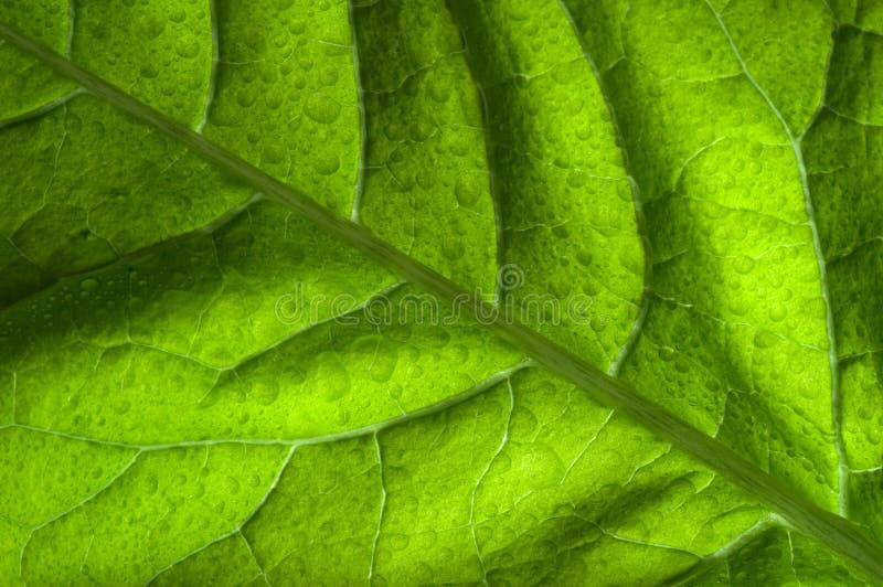 Hoja detrás encendida del verde fotos de archivo