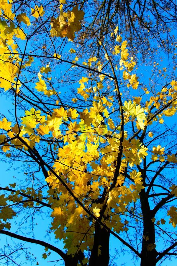 hoja en la puesta del sol, hojas de la caída del arce de otoño coloridas fotografía de archivo