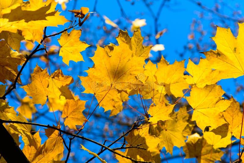hoja en la puesta del sol, hojas de la caída del arce de otoño coloridas fotos de archivo libres de regalías