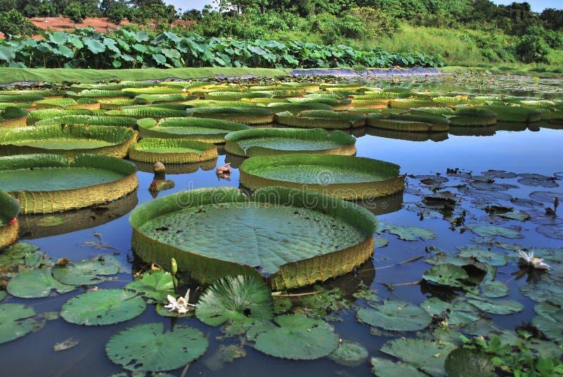 Hoja enorme de Lotus fotografía de archivo libre de regalías