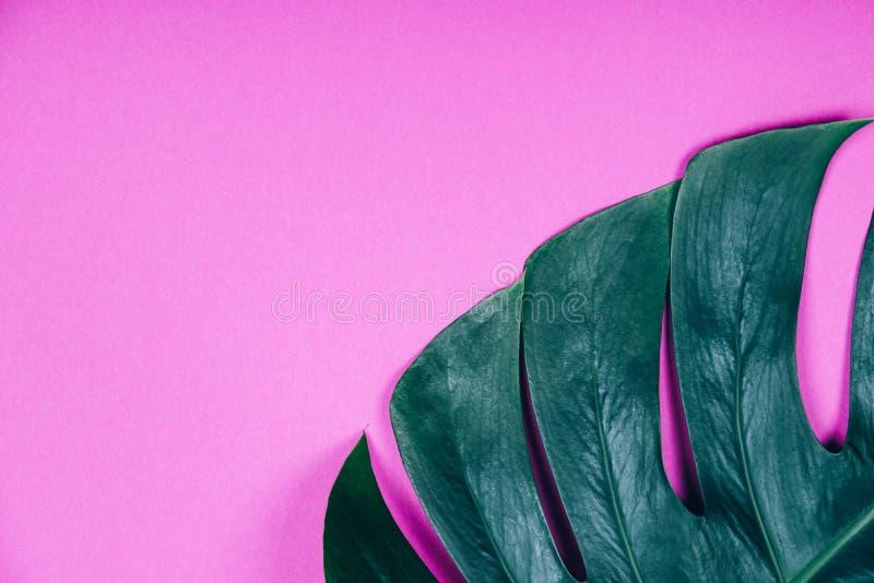 Hoja ex?tica tropical del monstera del verde de la planta en fondo en colores pastel rosado fotos de archivo