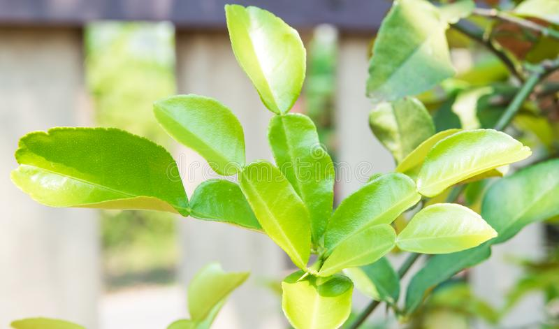 Hoja fresca de la fruta cítrica en el jardín en casa Curry tailandés de los ingredientes, hierba orgánica en la cocina fotografía de archivo libre de regalías