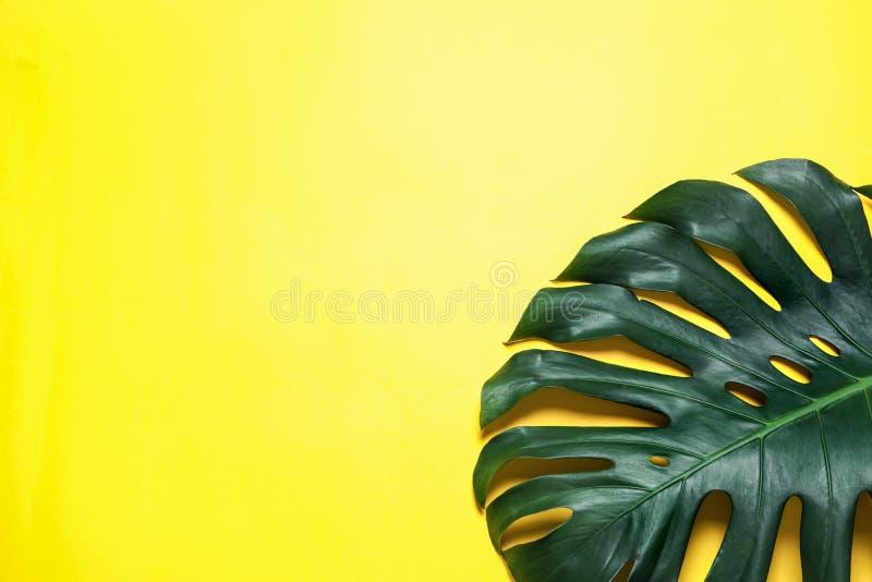 Hoja fresca verde del monstera en el fondo del color, visión superior Planta tropical imagenes de archivo