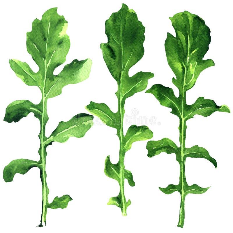 Hoja fresca verde del rukkola, del rucola o del arugula, hojas verdes orgánicas, sistema de ensalada de cohete aislado, acuarela  ilustración del vector