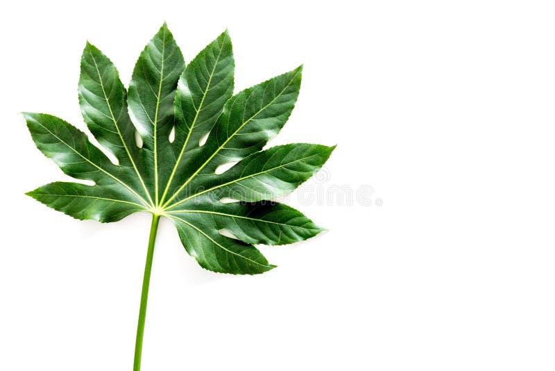 Hoja grande de la planta tropical en el copyspace blanco de la opinión superior del fondo fotografía de archivo