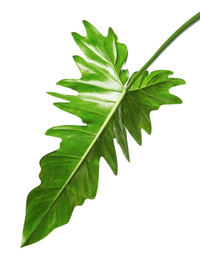 Hoja híbrida exótica del Philodendron, hojas verdes del Philodendron aisladas en el fondo blanco foto de archivo libre de regalías