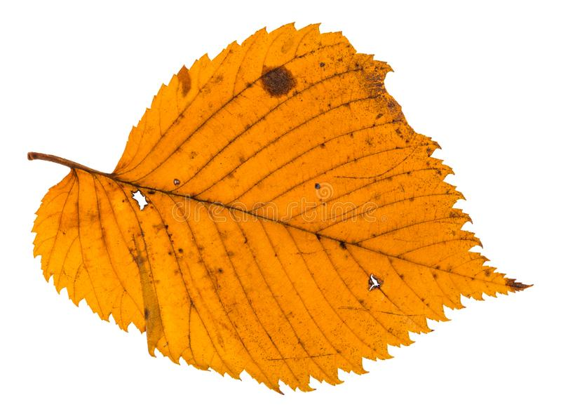 hoja holey del otoño del árbol de olmo aislada imágenes de archivo libres de regalías