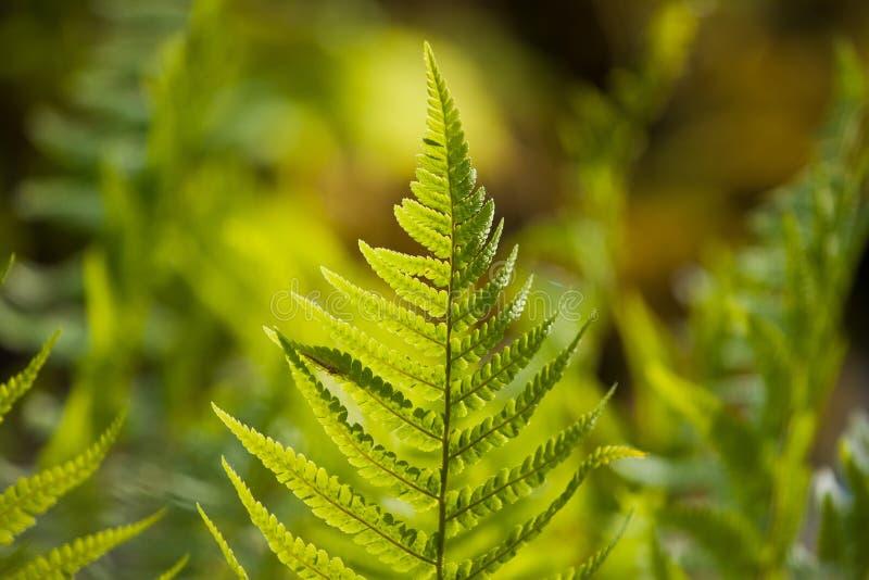 Hoja joven, fresca y sana del helecho en el fondo borroso de madera natural colorido, textura soleada brillante de la naturaleza  fotos de archivo