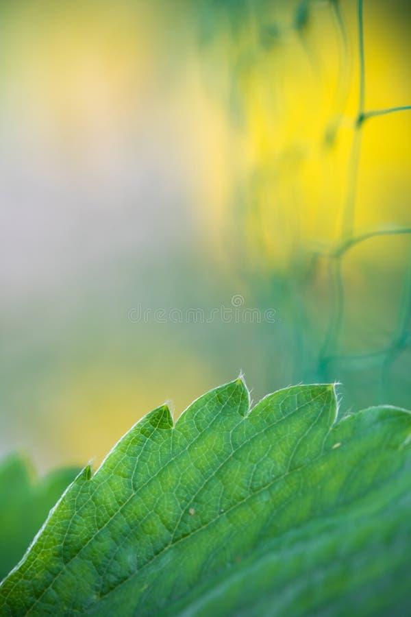 Hoja macra abstracta del verde de la fresa con la red en concepto borroso de la protección de las plantas del fondo imágenes de archivo libres de regalías